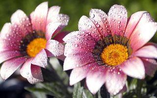 Бесплатные фото лепестки,розовые,капли,вода,роса,листья,зеленые
