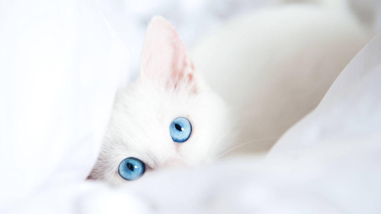 Фото бесплатно кошка белая, глаза голубые, уши - на рабочий стол