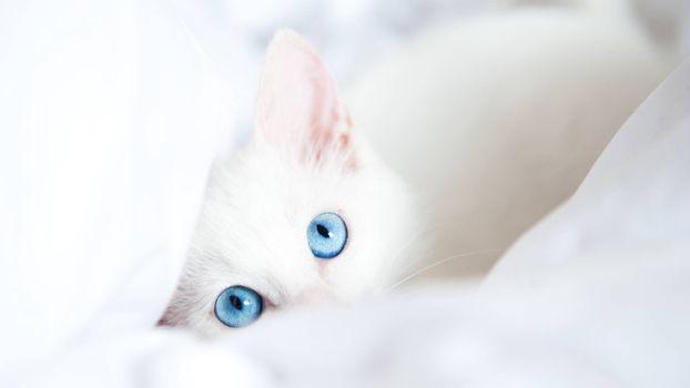 Заставки кошка белая, глаза голубые, уши