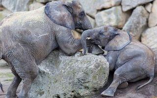 Бесплатные фото слоны, морды, хоботы, уши, камни, валуны