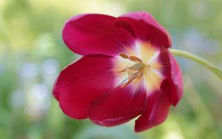 Бесплатные фото цветок,тюльпан,лепестки,красные,пестики,тычинки,пыльца
