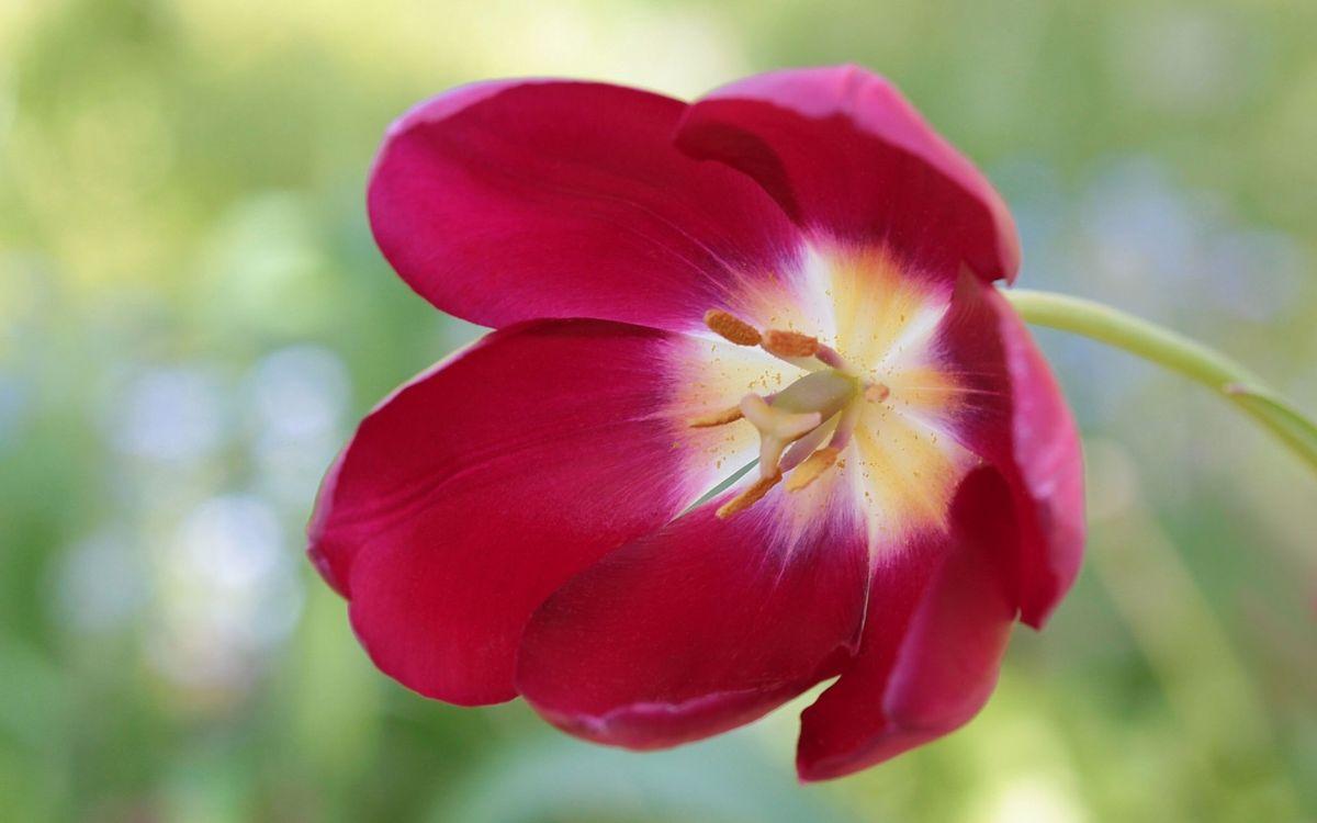 Фото бесплатно цветок, тюльпан, лепестки, красные, пестики, тычинки, пыльца, стебель, макро