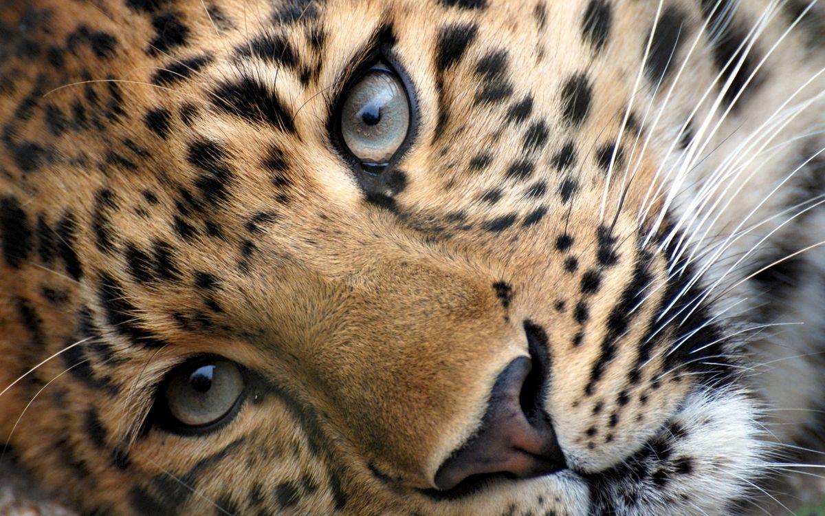 Фото бесплатно леопард, морда, глаза, нос, усы, шерсть - на рабочий стол