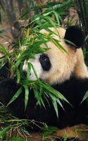 Бесплатные фото панда,морда,лапы,шерсть,бамбук,стебли,листья