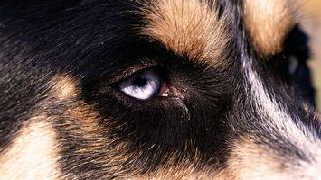 Бесплатные фото Хаски,взгляд,собака,голубые глаза