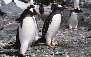 Бесплатные фото пингвины,стая,клювы,перья,ласты,лапы