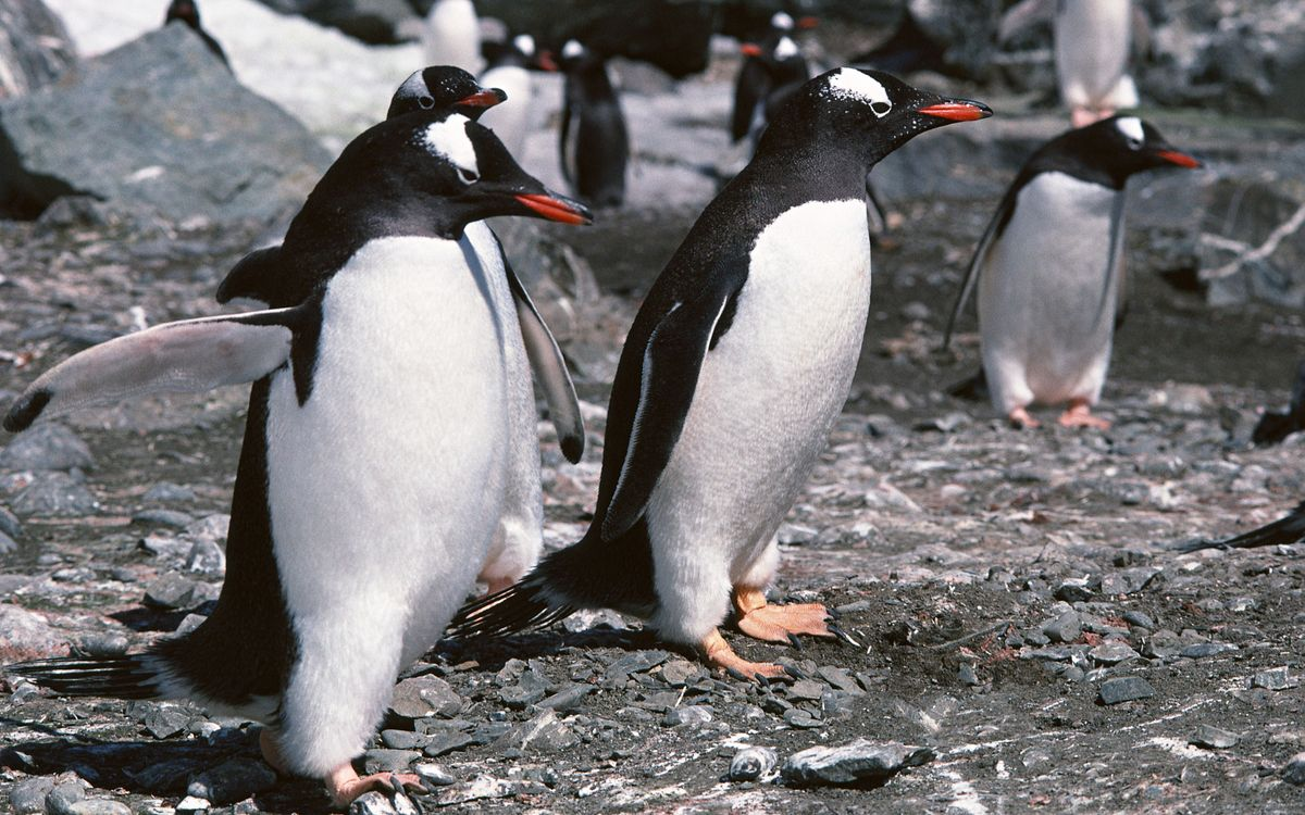 Фото бесплатно пингвины, стая, клювы, перья, ласты, лапы, птицы