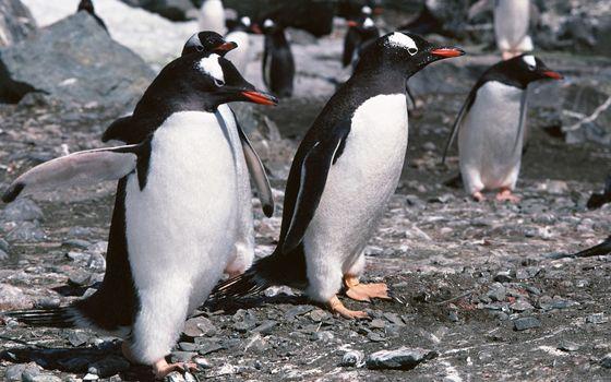 Фото бесплатно пингвины, стая, клювы