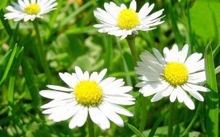 Бесплатные фото ромашки,белые,лепестки,стебли,листья,трава,зеленые