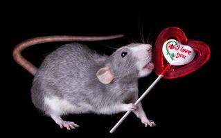 Бесплатные фото крыса,конфета,Аппетит,юмор