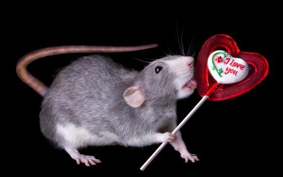 Фото бесплатно крыса, конфета, Аппетит