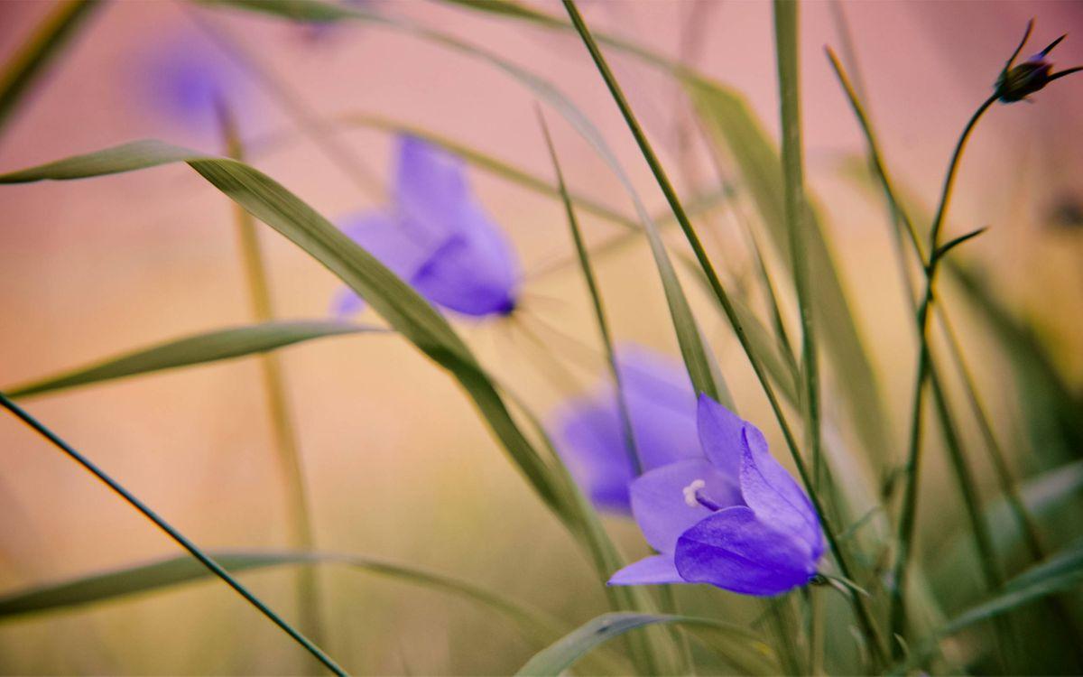 Картинка цветы полевые, колокольчики, лепестки, стебли, трава на рабочий стол. Скачать фото обои цветы