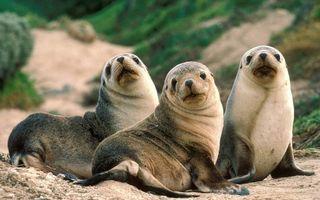 Фото бесплатно тюлени, морды, глаза