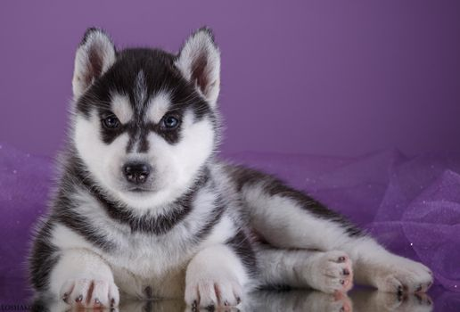 Photo free husky, puppy, cute