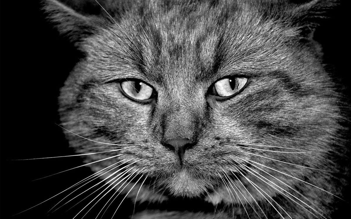 Фото бесплатно кот, морда, глаза, усы, шерсть, черно-белое, кошки
