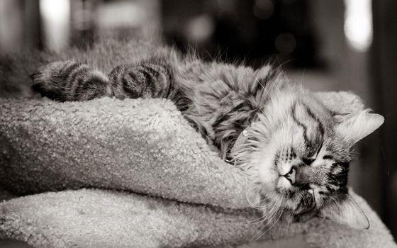 Заставки кот, спит, одеяло