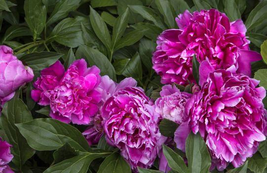 Бесплатные фото цветы,пионы,флора