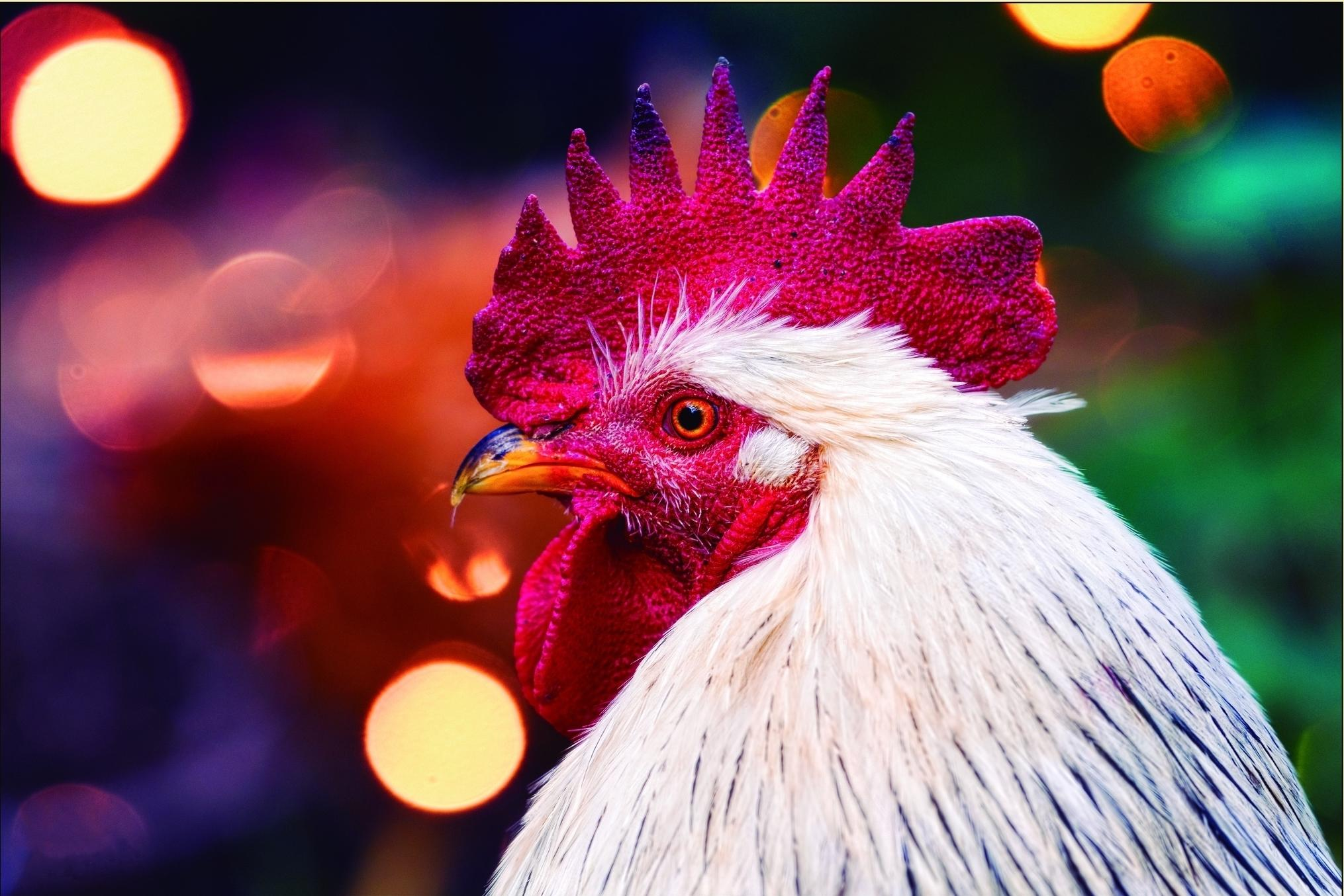Обои 2017 год Красного Огненного Петуха, Петух символ 2017 года, петух, птица