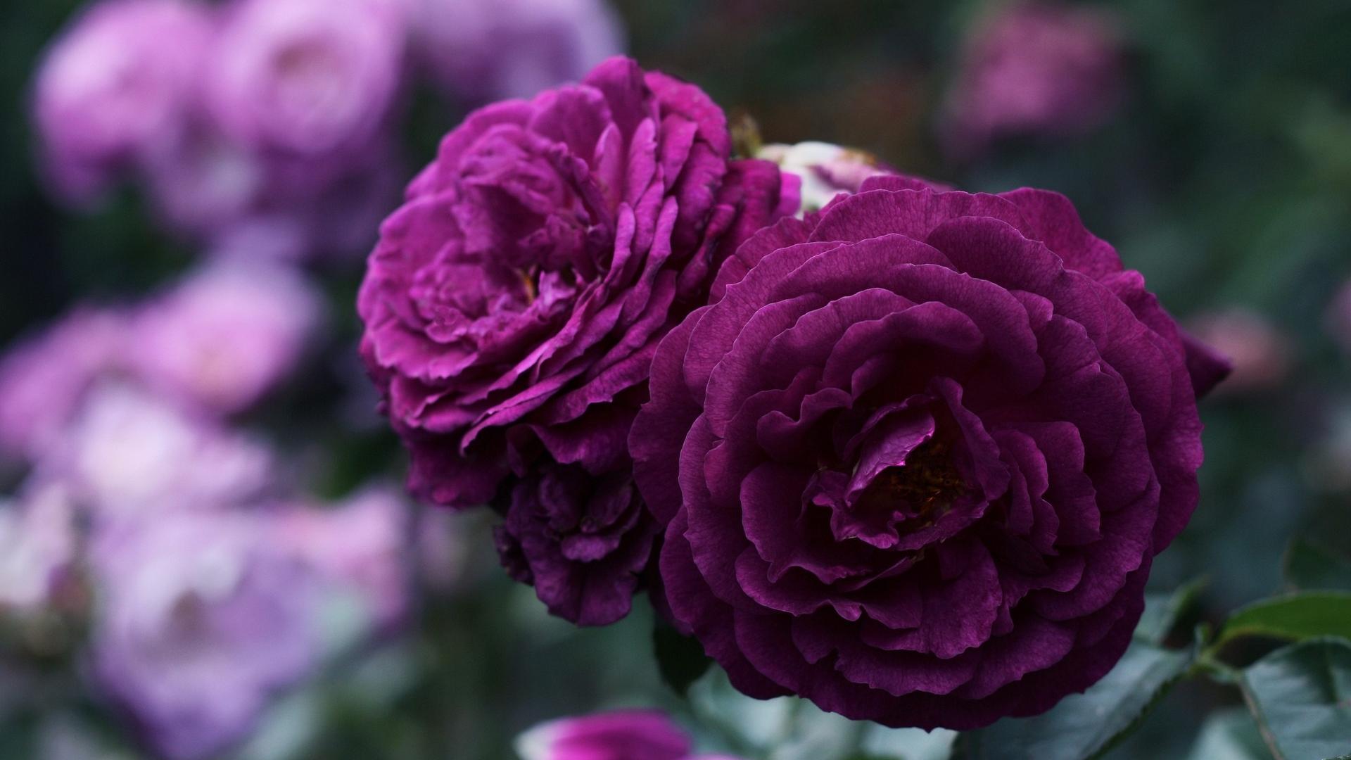 цветы, поляна, красивые