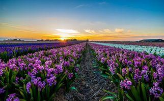 Бесплатные фото закат,поле,цветы,Гиацинты,Голландия,пейзаж