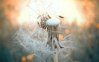 Заставки одуванчик,семена,пух,стебель