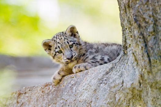 Бесплатные фото Снежный барс,хищник,котёнок