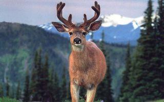 Бесплатные фото олень,морда,рога,шерсть,деревья,горы