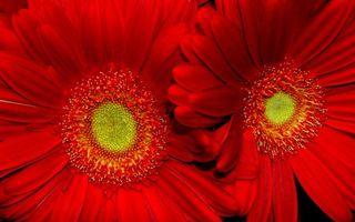 Фото бесплатно лепестки, красный, тычинки