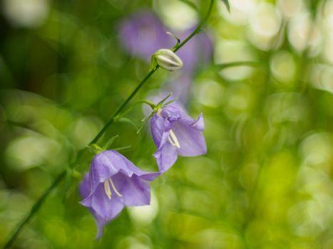 Фото бесплатно campanula rotundifolia, колокольчики, флора