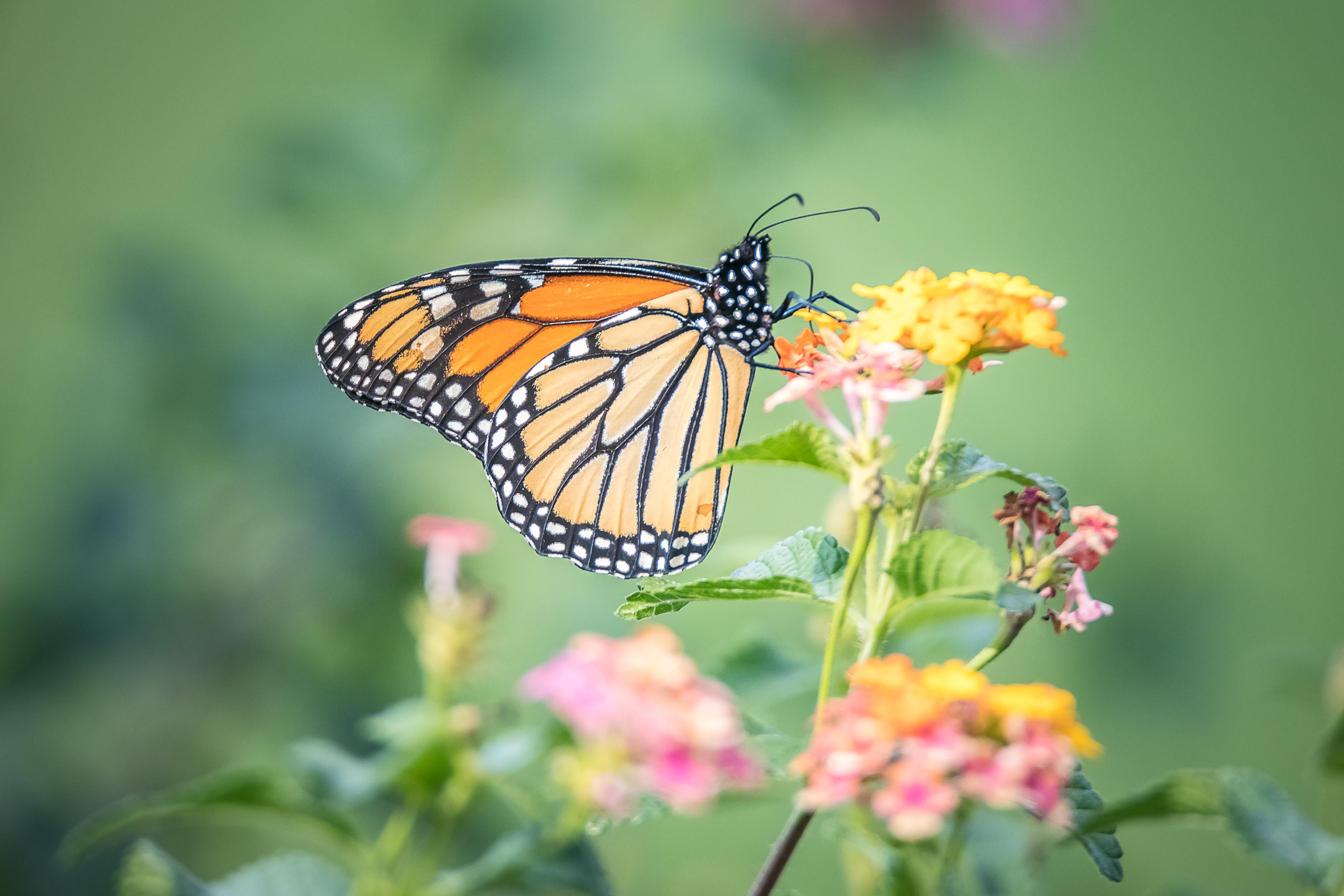 обои бабочка, цветок, цветы, флора картинки фото