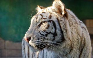 Фото бесплатно белый тигр, хищник, морда