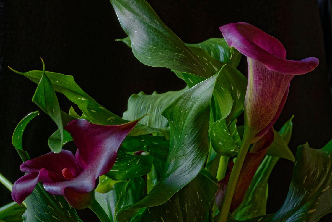 Фото бесплатно Purple Calla, растение, цветок, флора, цветы