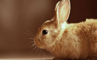 Заставки кролик, декоративный, морда, уши, глаза, шерсть
