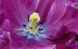 Обои цветок, лепестки, фиолетовые, пестики, тычинки, заставка
