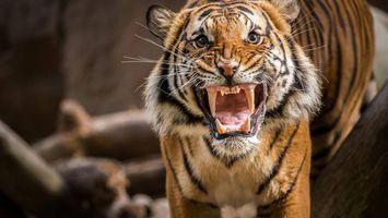 Фото бесплатно тигр, клыки, злость