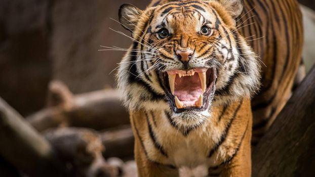 Photo free tiger, fangs, anger