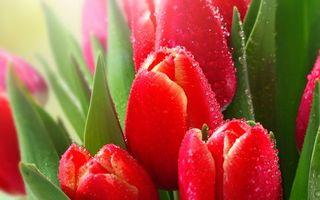Фото бесплатно тюльпаны, лепестки, красные, бутоны, листья, зеленые, капли, вода