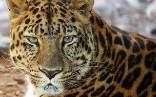 Бесплатные фото леопард,морда,глаза,усы,шерсть,окрас,пятна