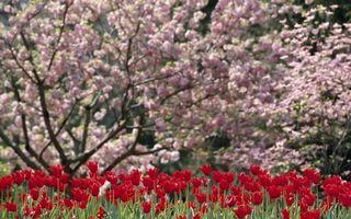 Бесплатные фото весна,клумба,тюльпаны,красные,деревья,цветут