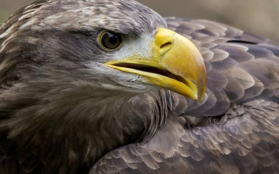 Photo free golden eagle, close-up, beak