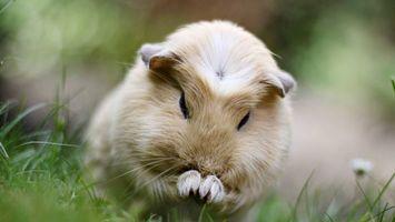 Бесплатные фото морская свинка,морда,лапы,шерсть,трава