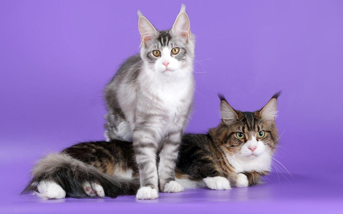 Фото бесплатно порода, коты, уши, мейн-кун, кошки