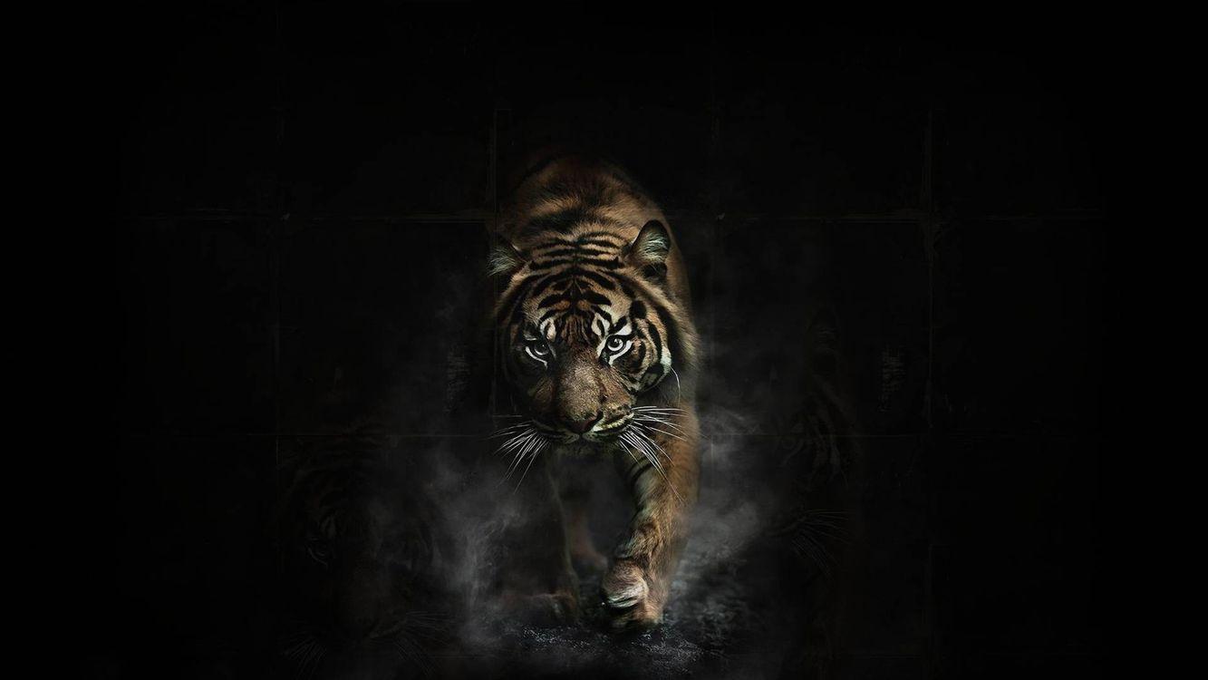 Фото бесплатно тигр на черном фоне, походка, кошки