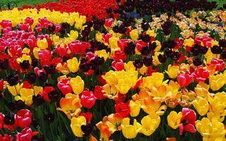 Бесплатные фото клумба,тюльпаны,лепестки,разноцветные,много,заставка