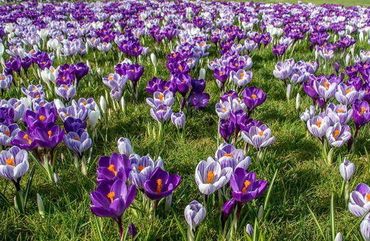 Бесплатные фото весна,шафран,крокусы