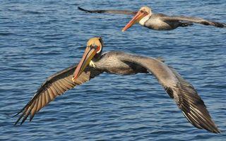 Бесплатные фото пеликаны,пара,крылья,клюв,большой,перья,море