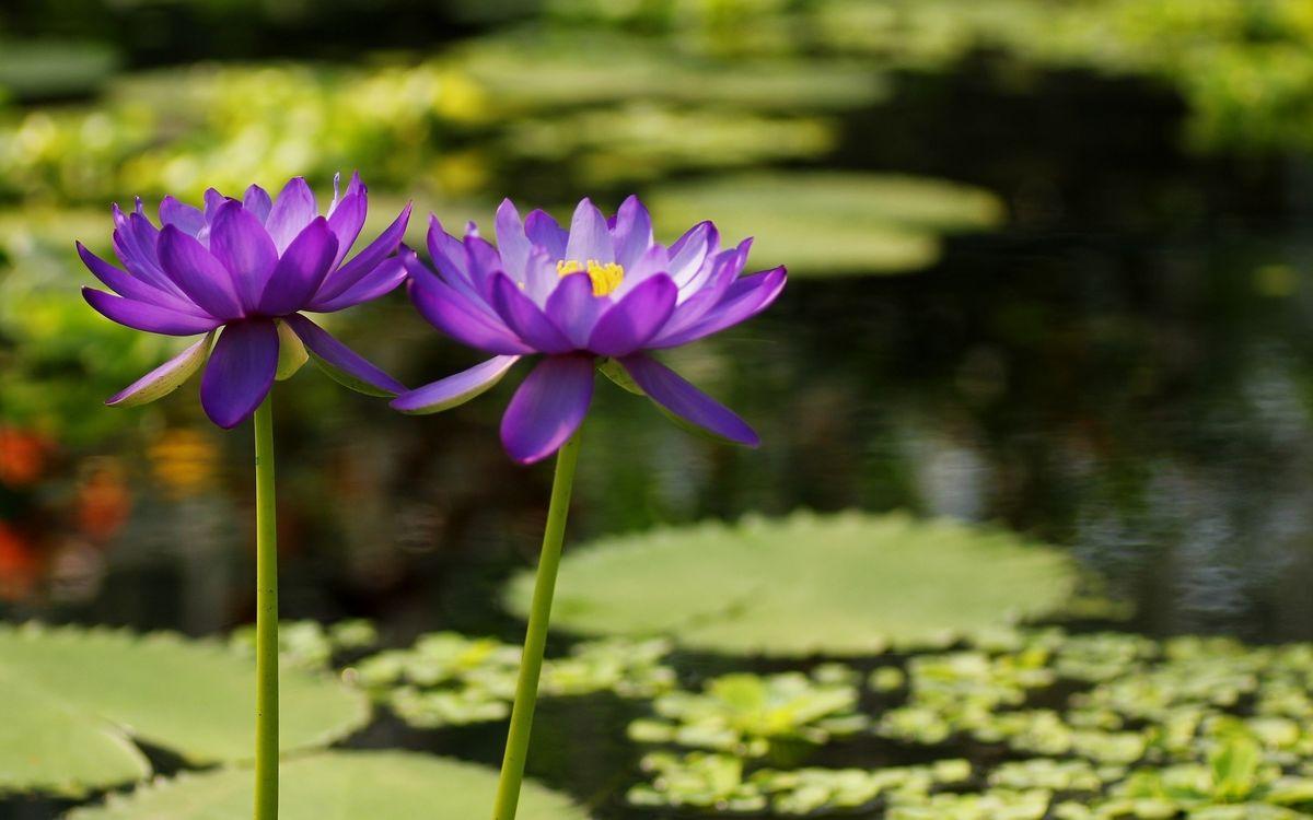 Фото бесплатно водоем, листья, стебли, кувшинки, лепестки, фиолетовые, цветы