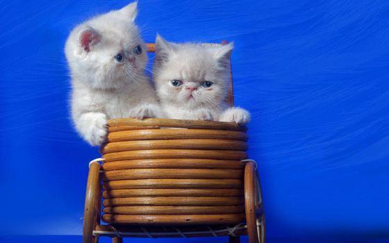 Photo free kittens, persians, muzzles