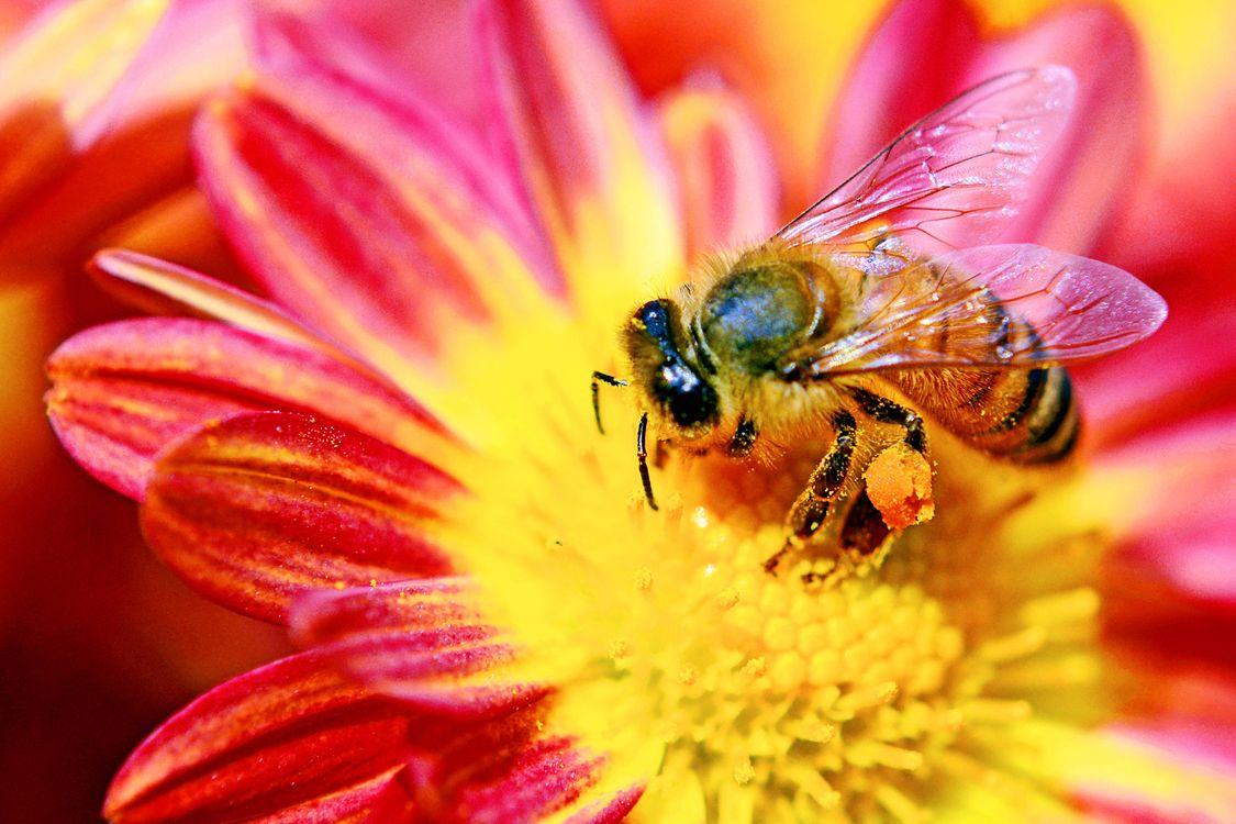 Фото бесплатно пчела, цветок, макро, насекомые