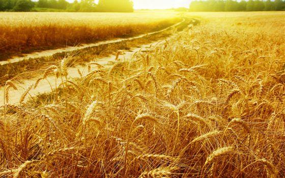 Бесплатные фото поле,пшеница,дорога,восход